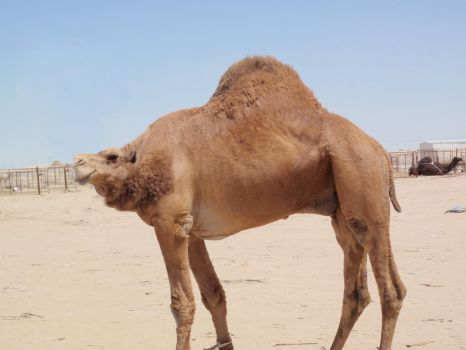 No-Neck Camel by THERAGER18