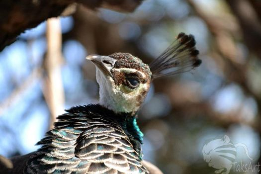 Peafowl head tilt by TaksArtPhotos