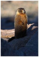 Yellow Bellied Marmot by Nate-Zeman