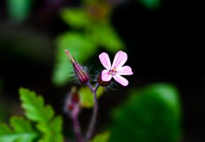 Herb Robert by Hendo1991