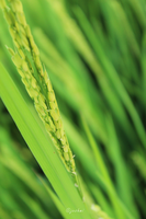 Rice Plant by DeMeter4
