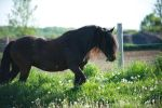 Le Cheval Canadien by captivating-sky
