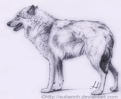 Wolf  Standing by SuliannH