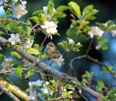 Yellow bird with pink flowers by fairyphyre