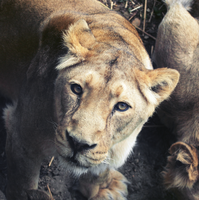 Lionness by FSGPhotography