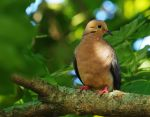 Morning Mourning Dove by barcon53