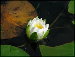 Water-Lily by WaitingForTheWorms