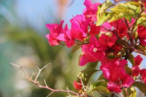 Bougainvillea spectabilis wind by shilohremy