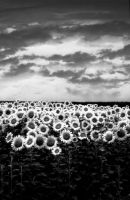 simply... Sunflowers by Giampictures
