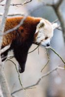 Red Panda by Art-Photo