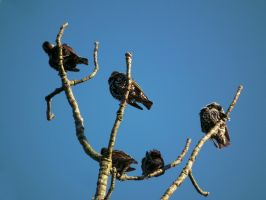 starlings in a tree by harrietbaxter