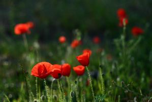 Poppies are red... by naat-naat