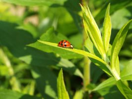 Asian Lady Beetle by KaylusDraven