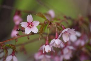 Spring: A Sakura in the Rain by taeliac