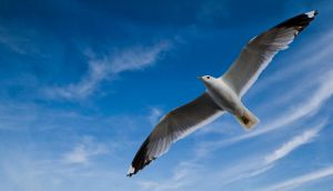 gull by Timosetae
