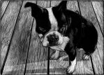 Charlie the Boston Terrier - WIP by RustyScratchy