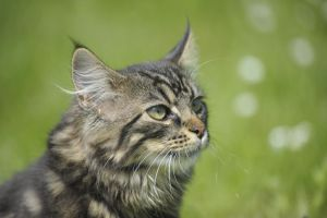 Kimba - Maine Coon - Natural Portrait by Manu34