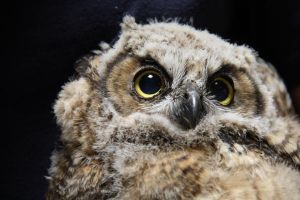 Baby Great Horned Owl by 21Momo21