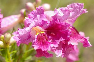 Pink Desert Willow by PatGoltz