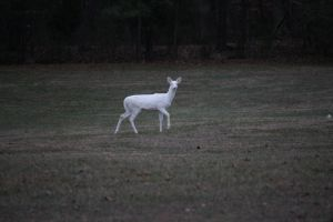 Albino Deer by insanitygonewrong