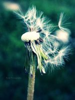 Dandelion by use-R