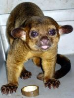 """Kinkajou"" by photographer1969"