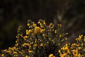Gorse by parallel-pam