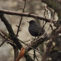 Common Blackbird by Dariaocean