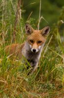 Young Fox by mansaards