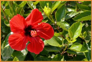 Hibiscus_Precious Flower by Lior-Art