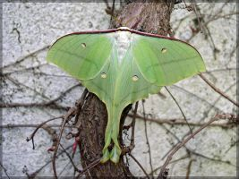Actias ningpoana, female - 2 by J-Y-M
