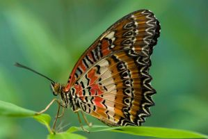 Malay Lacewing Butterfly by Glenn0o7