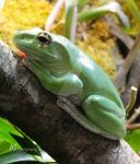 American bull frog by Amarantheans