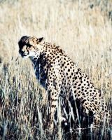 Cheetah in the grass by Serendith