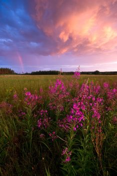 Among The Fireweeds by JoniNiemela