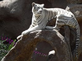 White Tiger by Paul774