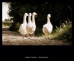 White gooses walking by Leconte
