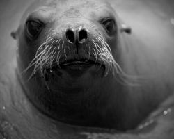 sealion by 30-noir