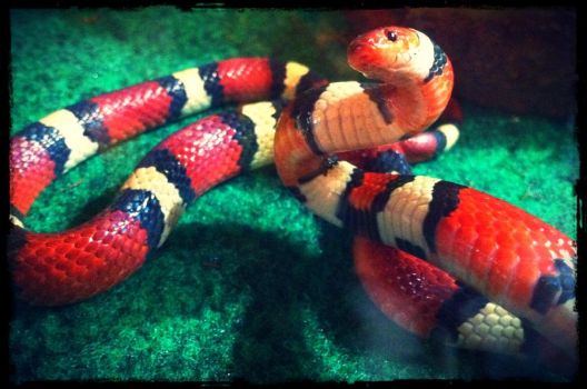 Nyasha: The Scarlet Kingsnake by Canlyn88