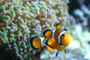 view to clownfish 9 by ingeline-art