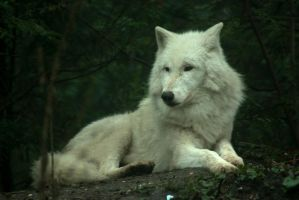White Wolf by steppeland