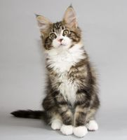Maine Coon kitten Brandy by ropo-art