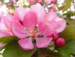 apple blossom by BlueIvyViolet