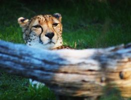 Lazy Days Cheetah by Squiddgee7734