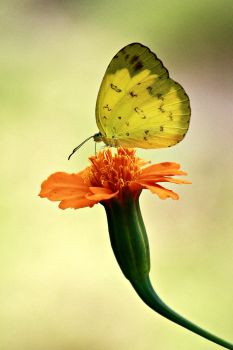 Little Yellow Butterfly by MYNONOT