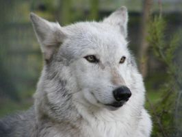Wolf Portrait Stock 1 by Clickitysnip-Stock