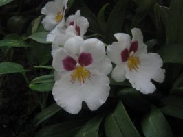white orchid 01 by CotyStock
