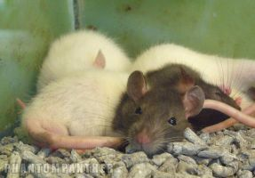 Photo - Resting Rodents by phantompanther