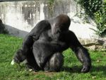 Wild animal 225 - expressive gorilla by Momotte2stocks
