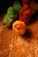 Easter Chicks by letp